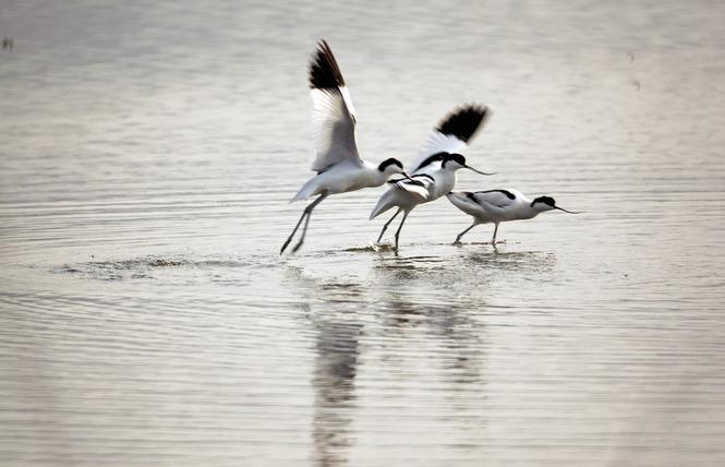 Observer les oiseaux au Salin des Pesquiers 3 - Hyères